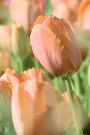 orange tulip in garden  floral background  vintage style toned picture  photo