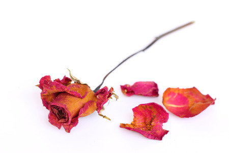 A withered rose and petals over white background. photo