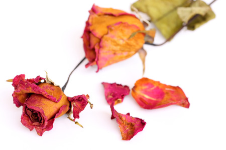 Withered roses and petals over white background. photo