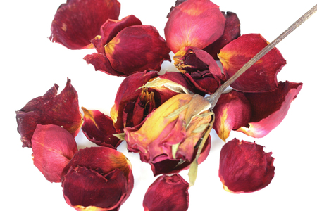 A withered rose and petals on white background. photo