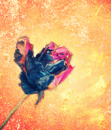 jilted: pink rose fade from fire on grungy vintage background.