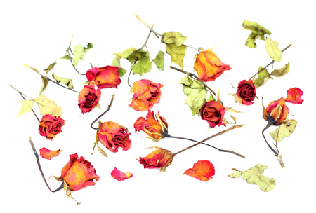 Withered roses and petals scattered on white background. photo