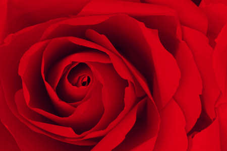 red rose: Close up of red rose make from paper,  abstract background. Stock Photo