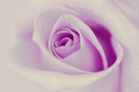 purple rose: Blurred vintage purple rose background.