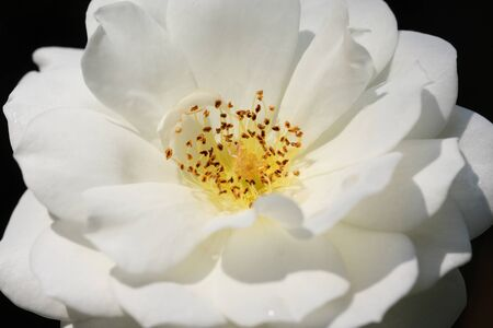 pollens: Close up of white rose bloom with pistol, stamen, and pollens.