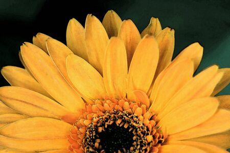 orange gerbera: Orange gerbera daisy flower, watercolor. Stock Photo