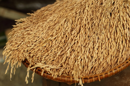 husks: Rice in the husks, paddy, unmilled rice in wicker bamboo basket, (Shallow Dof).