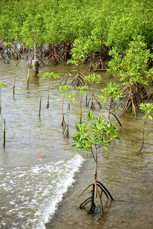 Young mangrove trees in forest at the estuary of a river. Thailand. Stock Photo - 43177669