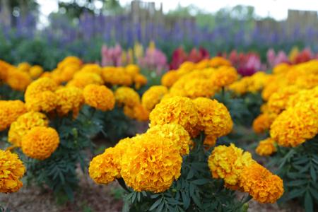 garden marigold: Yellow marigold flowers in garden.