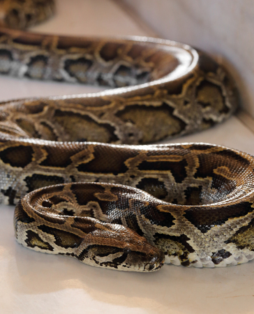 python: close up of brown python.