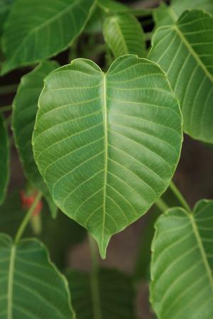 pipal: Heart shape leaf, pipal leaves on tree.
