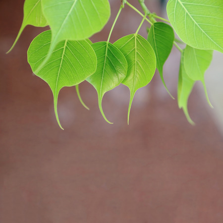pipal: Young pipal leaves. Green leaf background. Spring scene natural background. Stock Photo