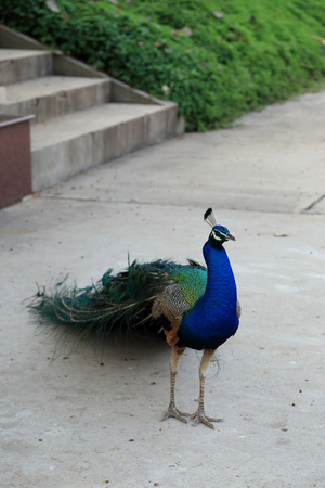 phasianidae: Beautiful vibrant colors Peacock, Indian blue peafowl, Pavo cristatus, walking on ground.