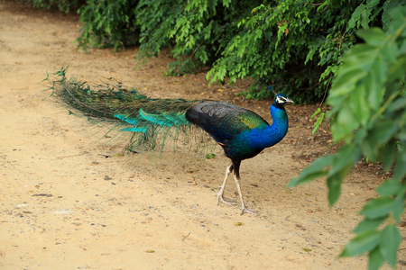 indian blue: Beautiful vibrant colors Peacock, Indian blue peafowl, Pavo cristatus, walking on ground.