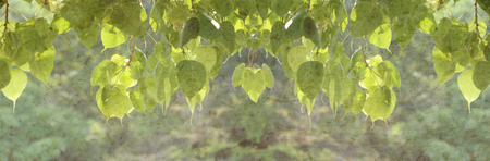 pipal: Green pipal leaves with mulberry paper texture for title bar background. Stock Photo