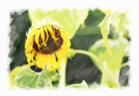 Wither sunflower, watercolor on canvas texture.
