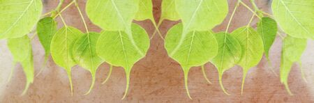 pipal: Young pipal green leaves with mulberry paper texture for title bar background. Stock Photo
