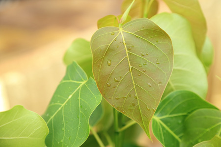 pipal: Young pipal leaves. Green leaf Spring scene natural background. Stock Photo