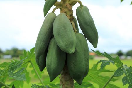 Bunch of papaya fruit on tree. an ingredient of Papaya salad or SomTam, Thai food.