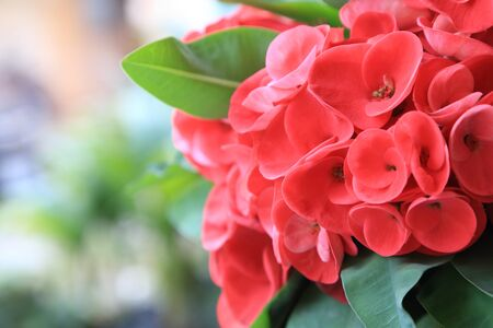 Close up of Red euphorbia milii or Crown of thorns flower.