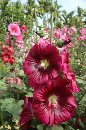 Red Hollyhock flower in sunlight garden.