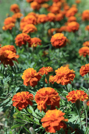 Red - yellow Mexican Marigold flowers garden in sunlight.