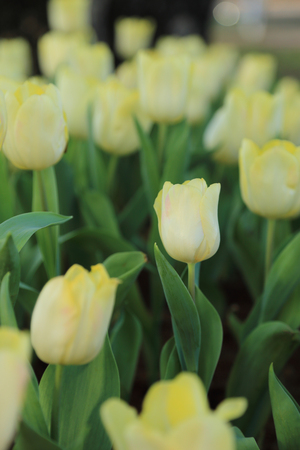 shrubbery: Yellow tulip flowers in garden, soft focus.