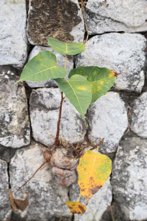 pipal: Plant grow up on cracked wall.