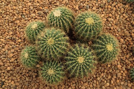 conservatory: Group of Cactus with thorns on pebble ground. Stock Photo