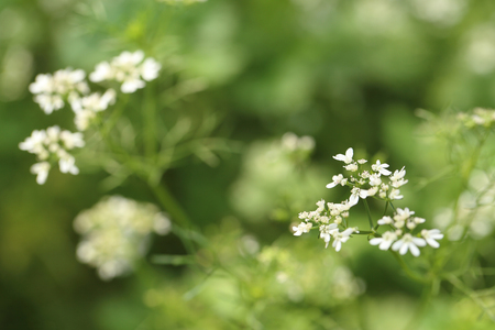 Small white flowers on blurred green background.