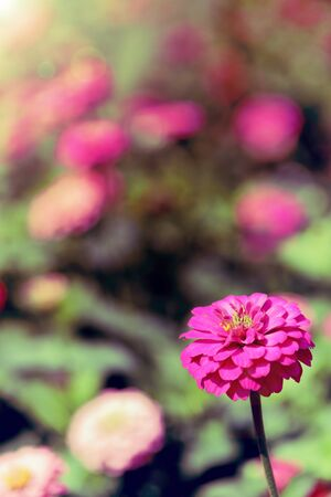 Pink zinnia flowers in the garden, vintage style image for background.