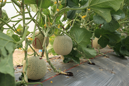 Melon fruit on plant in organic farm. Stock Photo - 78538319