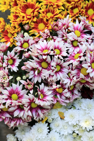 Multi colors chrysanthemum flower bouquet for background. Stock Photo