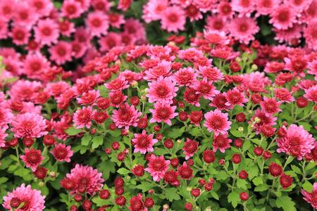 Pink chrysanthemum flowers in garden for background. Stock Photo - 80268708