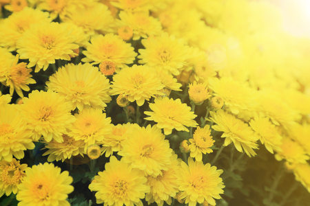 Yellow chrysanthemum flowers bouquet with light flare for background.
