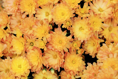 Top view of pale orange color chrysanthemum flowers bouquet for background.