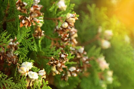 Branch of green pine tree with brown seed, selective focus in warm light toned. Stock Photo