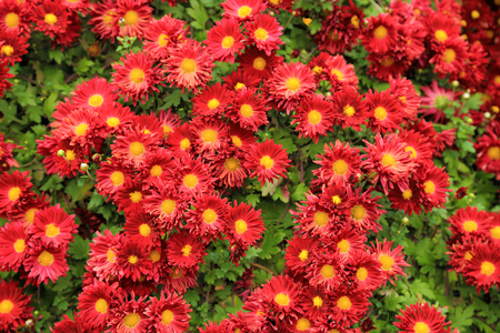 Red chrysanthemum flowers in garden for background. Stock Photo