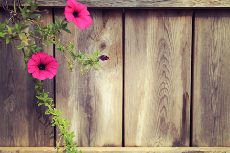 Branch of pink petunia with wooden fence background, empty space on right. vintage toned image. Stock Photo - 80268724