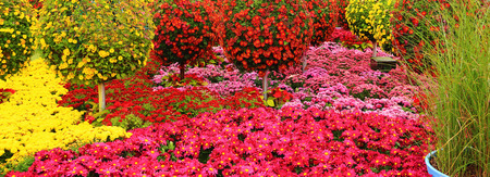 Chrysanthemum flowerbed, Colorful flower in garden for background. Stock Photo