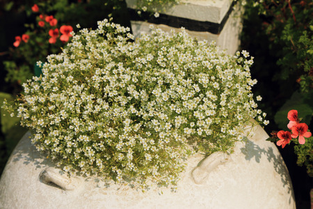 Bush of white small flowers in flowerpot decorated in garden.