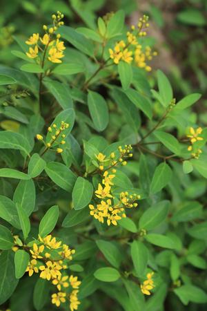 Galphimia Thryallis glauca or Gold Shower flower, ornamental shrub plant in garden.