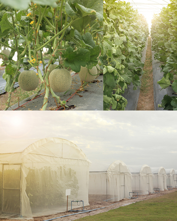 Cantaloupe melons growing in greenhouse farm photo set, outside, inside, fruit on plant. Stock Photo