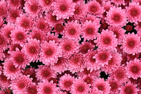 Top view of pink color chrysanthemum flowers bouquet for background.