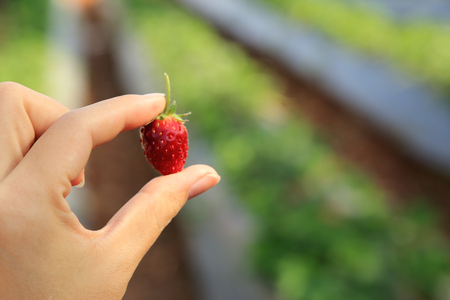 Red strawberry in hand with blurred background of orchard.