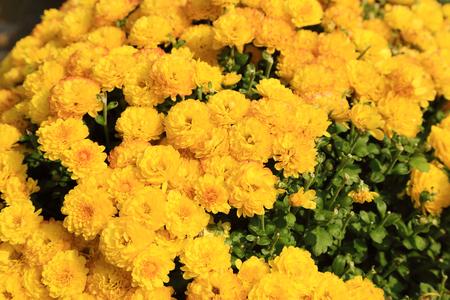 Yellow chrysanthemum flowers garden in sunshine.