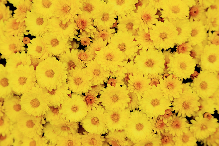 Top view of yellow chrysanthemum flowers bouquet for background. Stock Photo