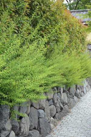 Green plant on stone wall at the side of walkway, perspective. Stock Photo
