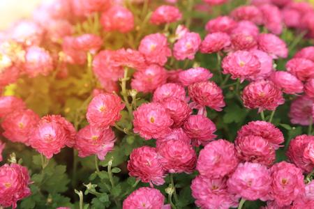 Pink chrysanthemum flowers garden in sunshine.