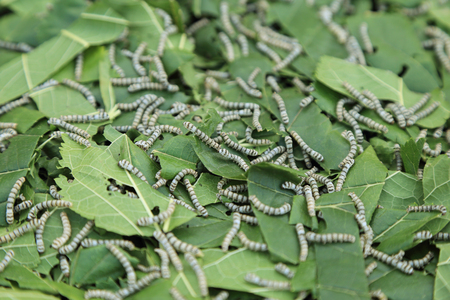 Silkworm eating mulberry green leaf.